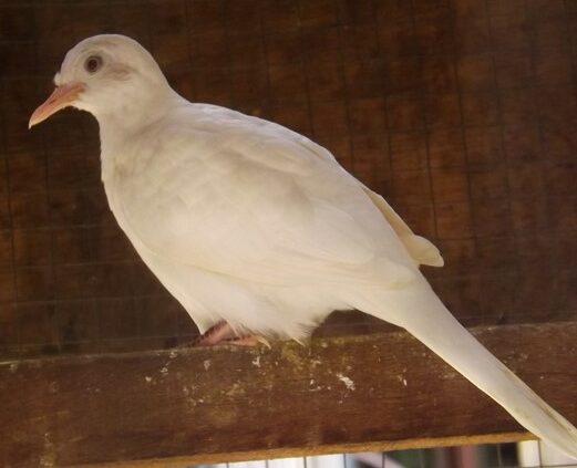 burung-perkutut-putih