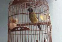 burung-samyong