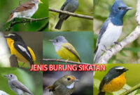 burung-sikatan