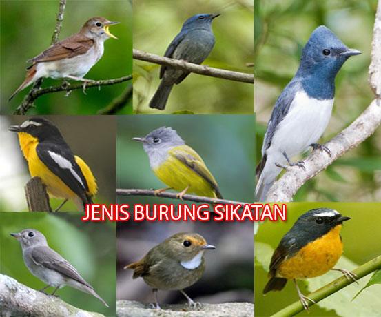 Mengenal Jenis Burung Sikatan Harga Dan Suara Kicau Mp3