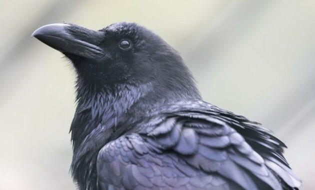 gambar-burung-gagak