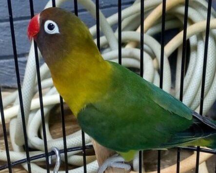 gambar-burung-lovebird-olive