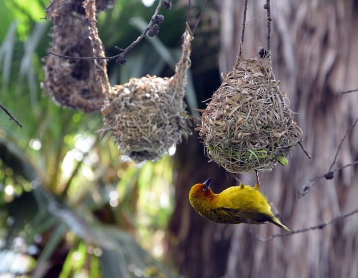 gambar-burung-manyar