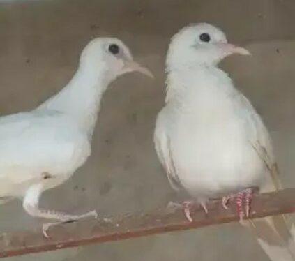 gambar-burung-perkutut