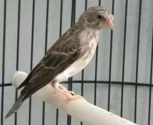 gambar-burung-sanger