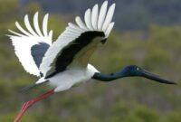 habitat-burung-bangau