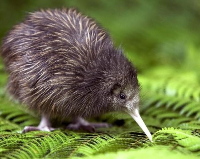 jenis-burung-kiwi