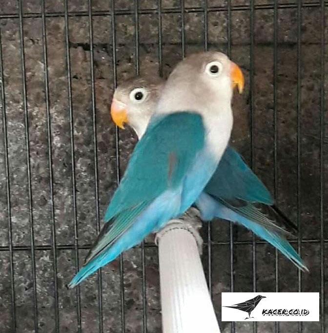 lovebird-cobalt