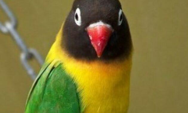 lovebird-dakocan