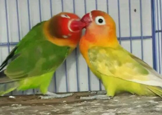 lovebird-jodohan