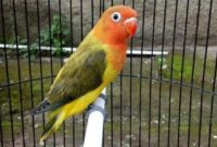 lovebird-olive