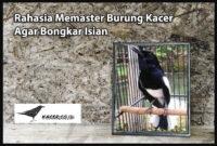 masteran-burung-kacer