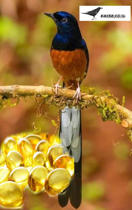 minyak-ikan-untuk-burung