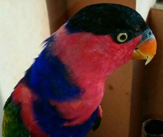 Inilah Keistimewaan Burung Nuri Kepala Hitam