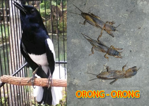 orong-orong