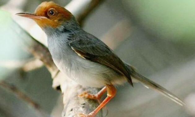suara-burung-prenjak-betina
