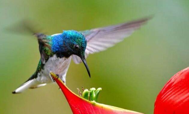 suara-kolibri