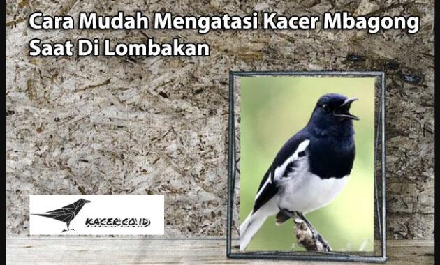 burung-kacer-mbagong