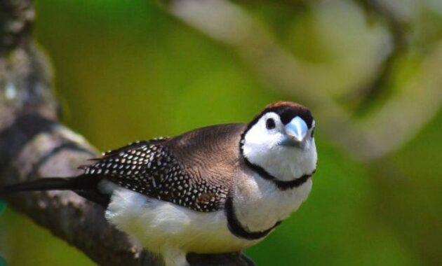 ciri-owl-finch