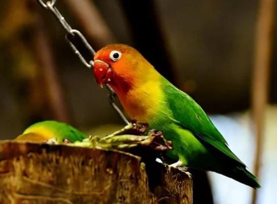 gambar-burung-lovebird