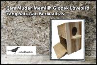 glodok-lovebird