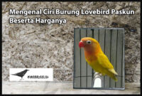 lovebird-paskun