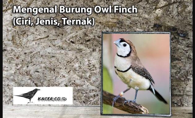 owl-finch