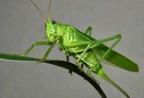 belalang-kecek