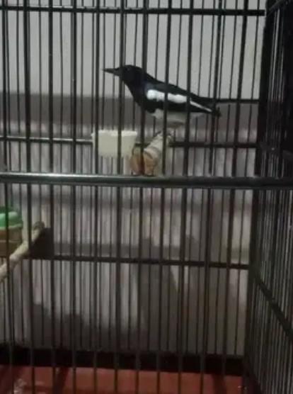 burung-kacer