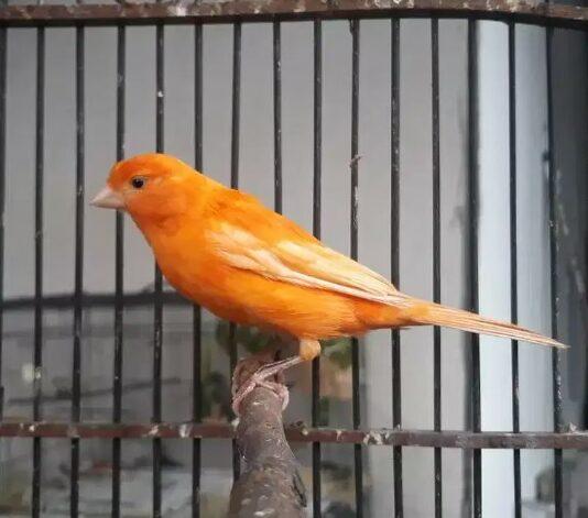 burung-kenari-merah-lokal