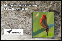 burung-strawberry-finch