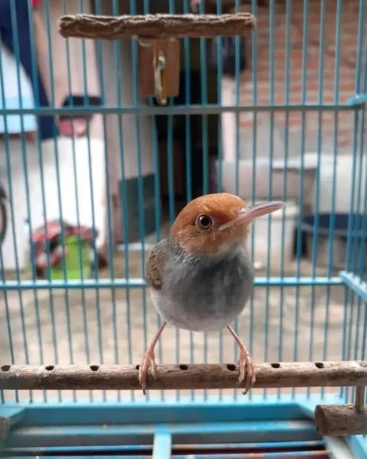 jenis-burung-prenjak