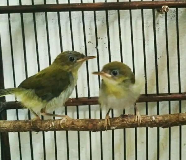 Mengenal Ciri Dan Perawatan Burung Prenjak Lumut Gacor Dor