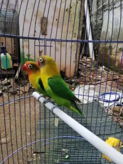 love-bird