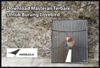 masteran-lovebird