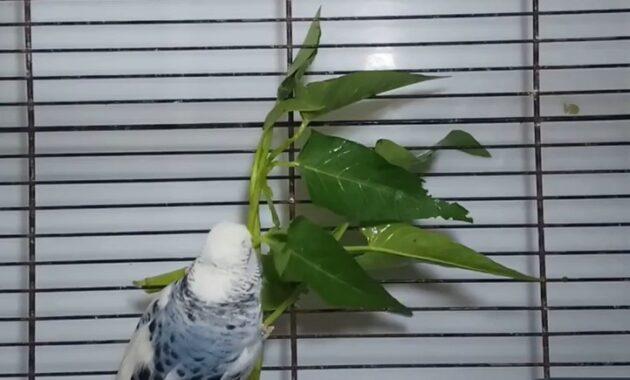 pakan-burung-parkit