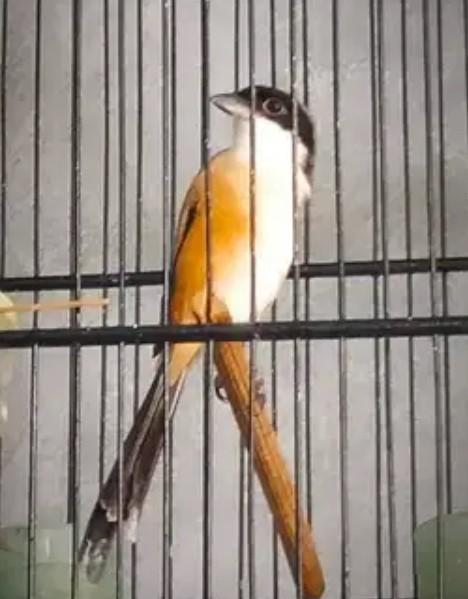 burung-pentet-dewasa