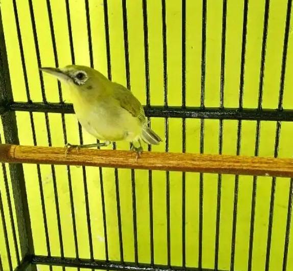 burung-pleci-lombok