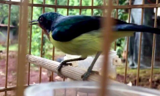 gambar-burung-kolibri-wulung