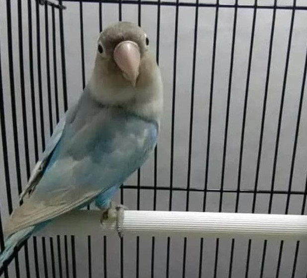 gambar-lovebird-pastel-biru