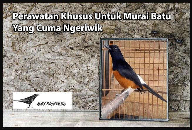 Perawatan Khusus Untuk Burung Murai Batu Yang Cuma Ngeriwik