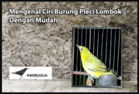 pleci-lombok