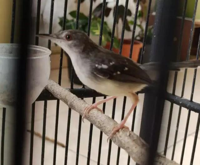 burung-ciblek-berkualitas