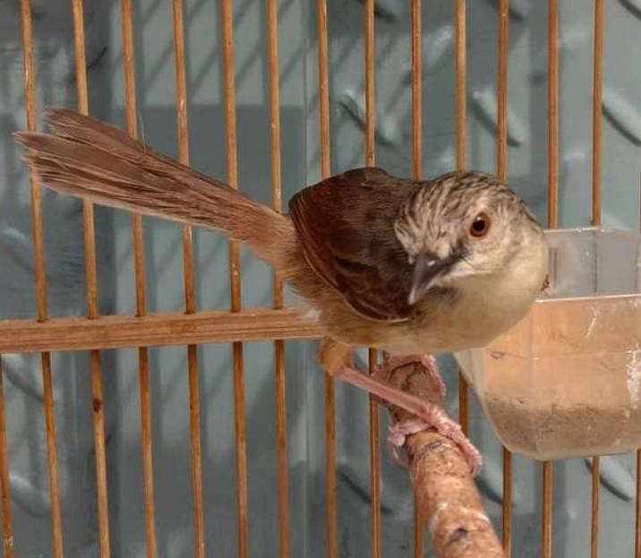burung-ciblek-prospekan