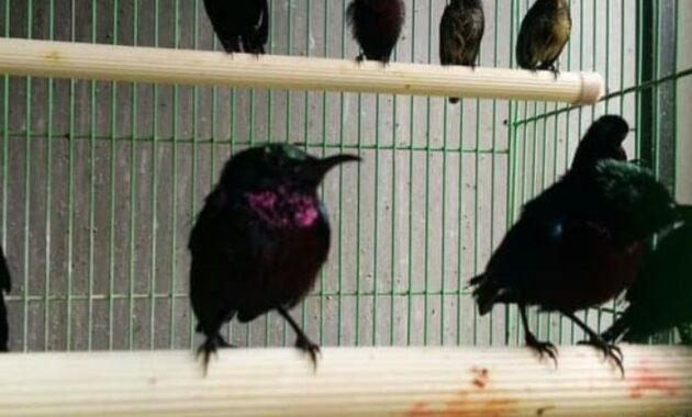 jenis-burung-kolibri