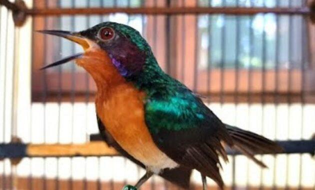 Daftar Harga Burung Kolibri Terupdate Mei 2020 Terbaru Lengkap