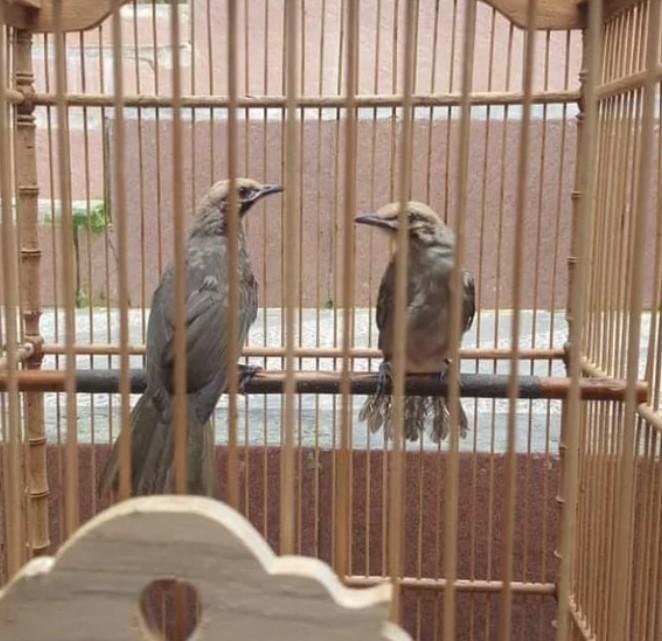 burung-cucak-rowo