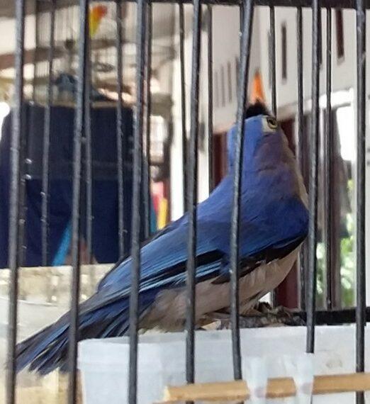 burung-munguk-beledu