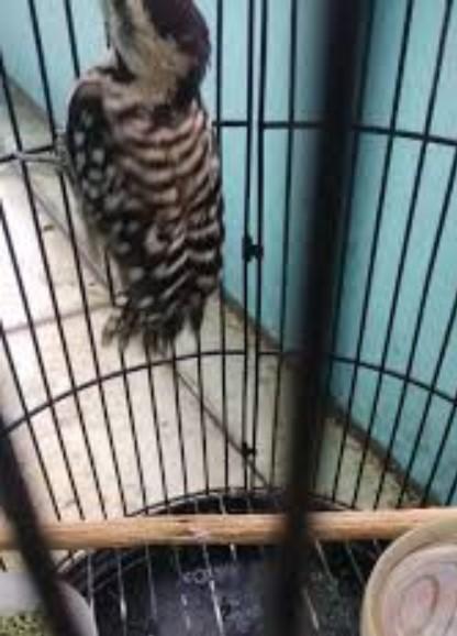 burung-pelatuk-sampit