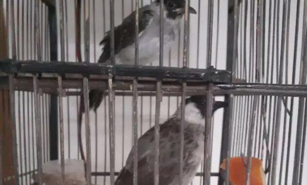 cara-merawat-burung-kutilang-liar